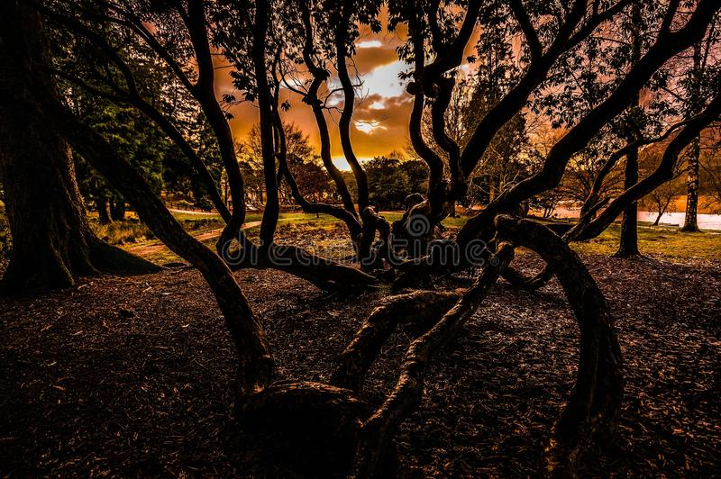Дерево осьминога стоковая фотография rf