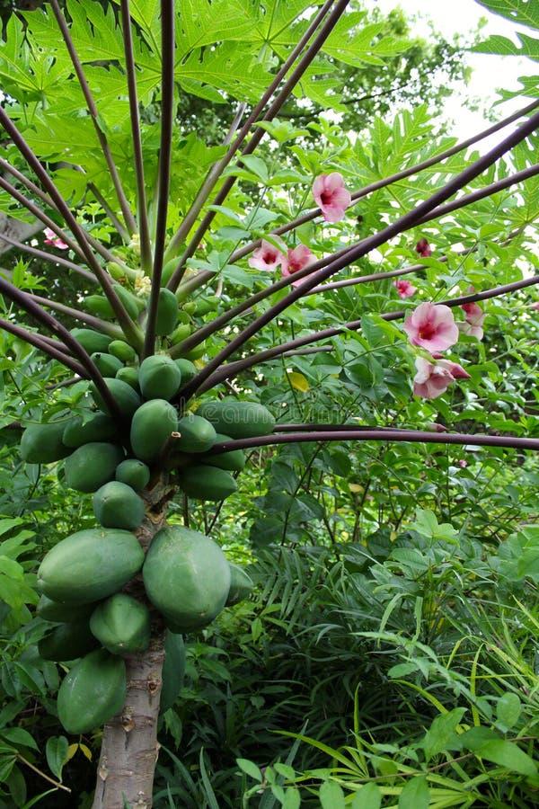 Дерево папапайи Окинавы стоковое фото rf