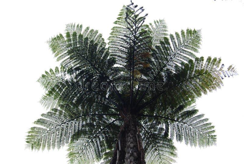 Дерево папоротника стоковые фотографии rf