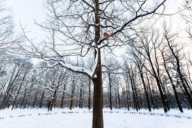 Дерево перед покрытым снег лугом в городском парке стоковое фото