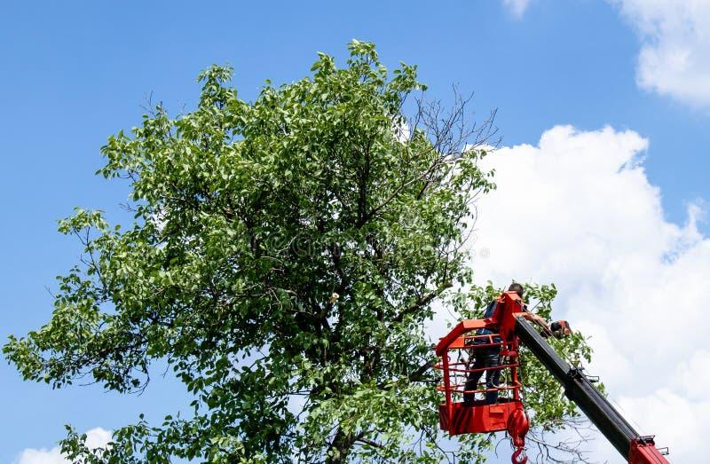 Дерево подрезая и пиля человеком с положением цепной пилы на платформе механического подвесного подъемника стоковое изображение