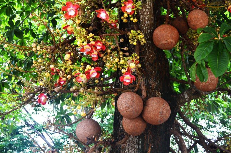Дерево пушечного ядра деревьев соли стоковое изображение rf