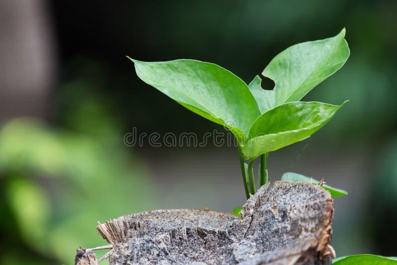 Дерево растет от умирая древесины стоковая фотография