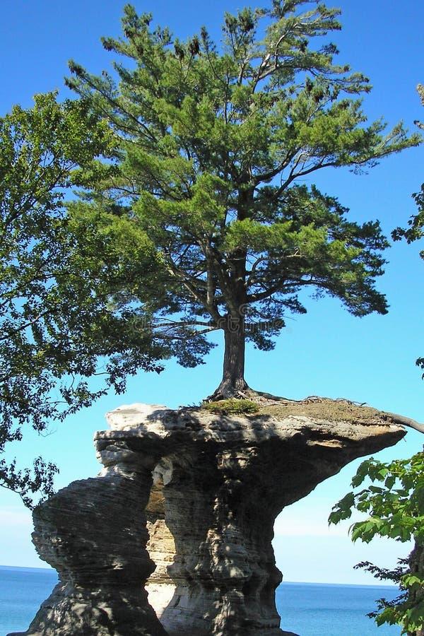 Дерево растя из утеса стоковые фотографии rf