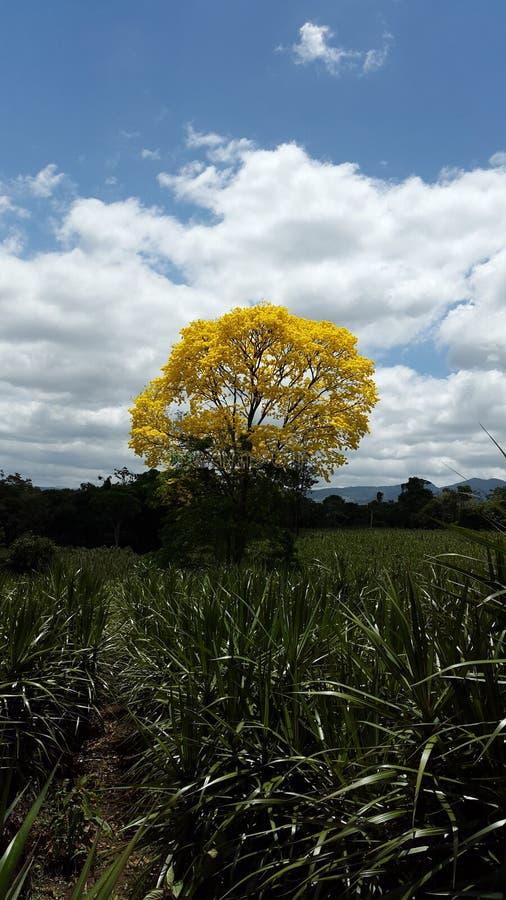 Дерево расшивы Коста-Рика стоковые изображения