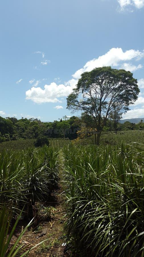 Дерево расшивы Коста-Рика стоковые фото