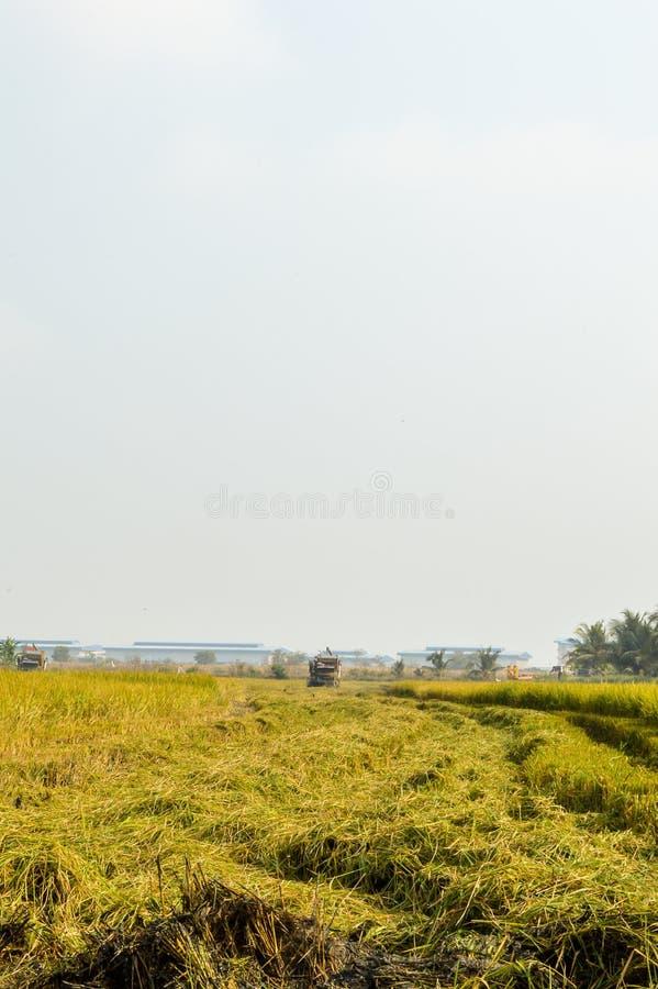 дерево риса в зеленом поле стоковые фотографии rf