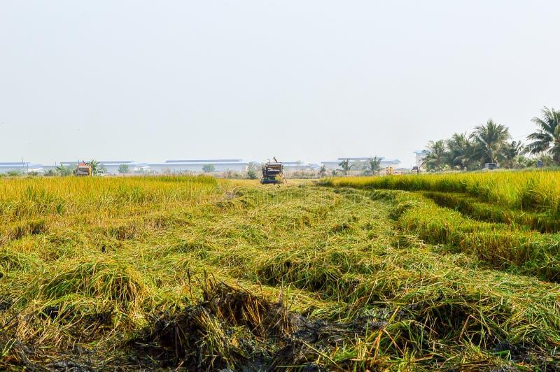 дерево риса в зеленом поле стоковые изображения rf