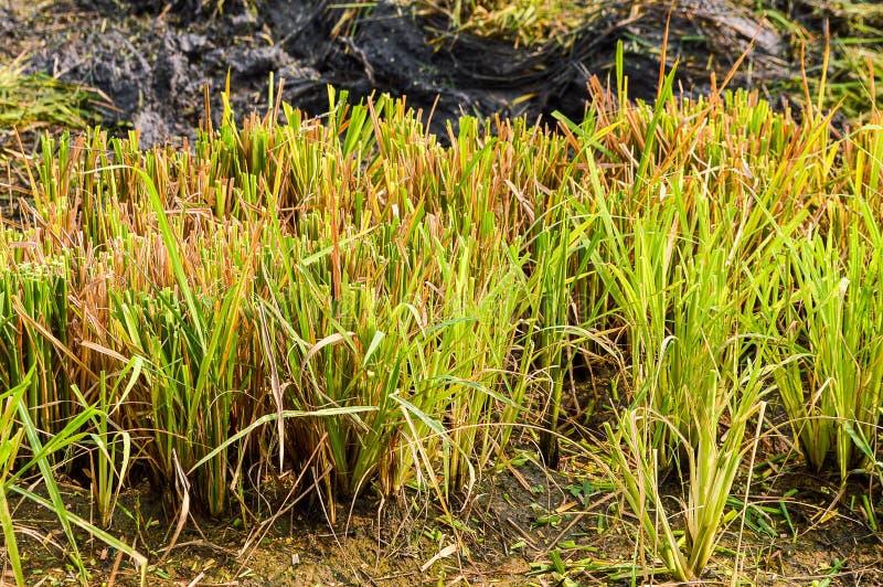 Дерево риса после резать стоковое изображение