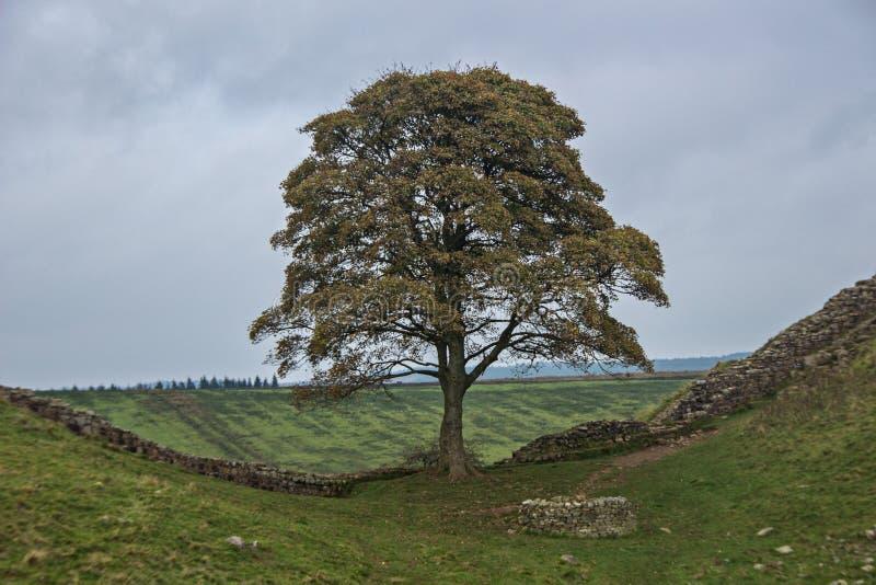 Дерево Робина Гуда стоковая фотография rf