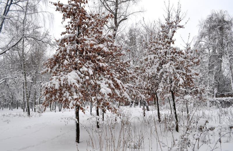 Дерево рябины в лесе снега стоковые фото