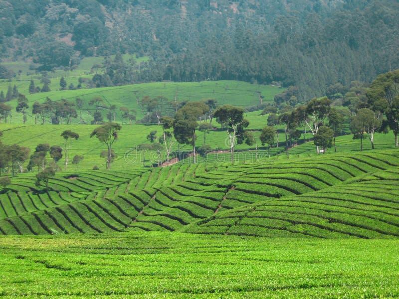Дерево рядом с плантации чая Ciwidey стоковая фотография
