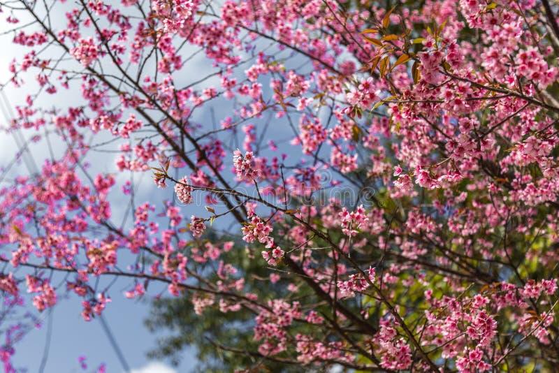 Дерево Сакуры стоковые изображения rf
