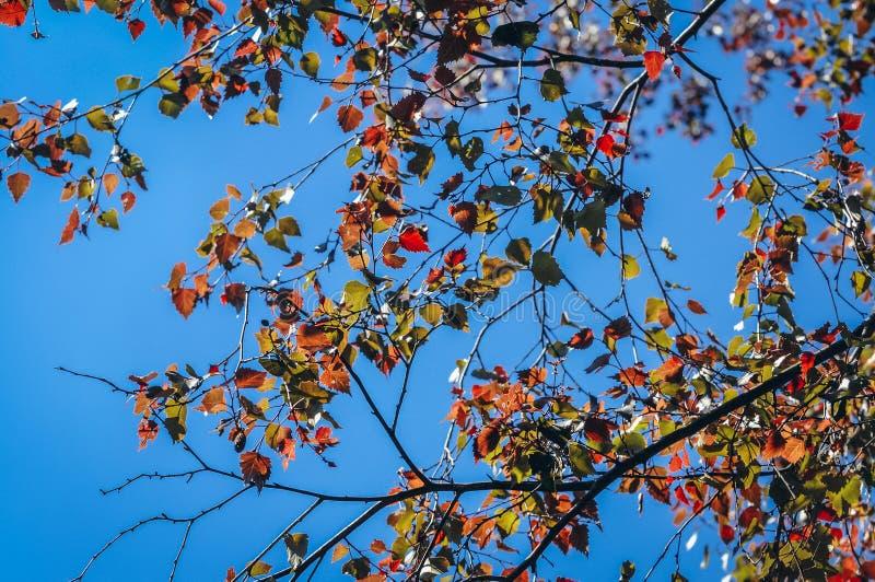Дерево серебряной березы стоковые изображения