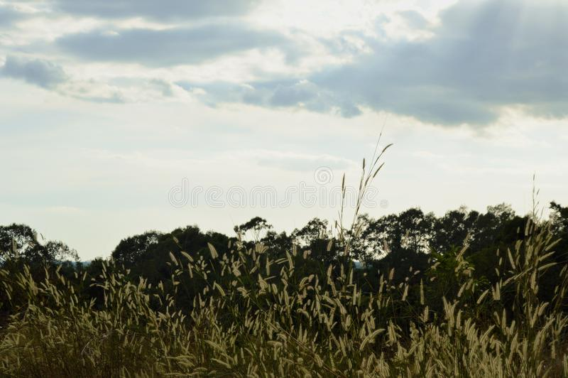 Дерево силуэта и цветок травы дуя от ветра на горе Khao Lon в Таиланде стоковое изображение rf