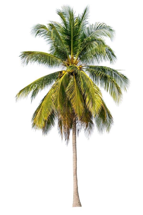 Дерево совершенно отделено от имени белой предпосылки ба научного стоковое изображение