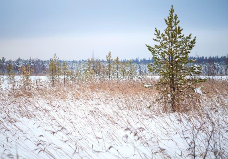 Дерево сосенки и сухие тростники на свободном полете замороженного озера стоковая фотография rf