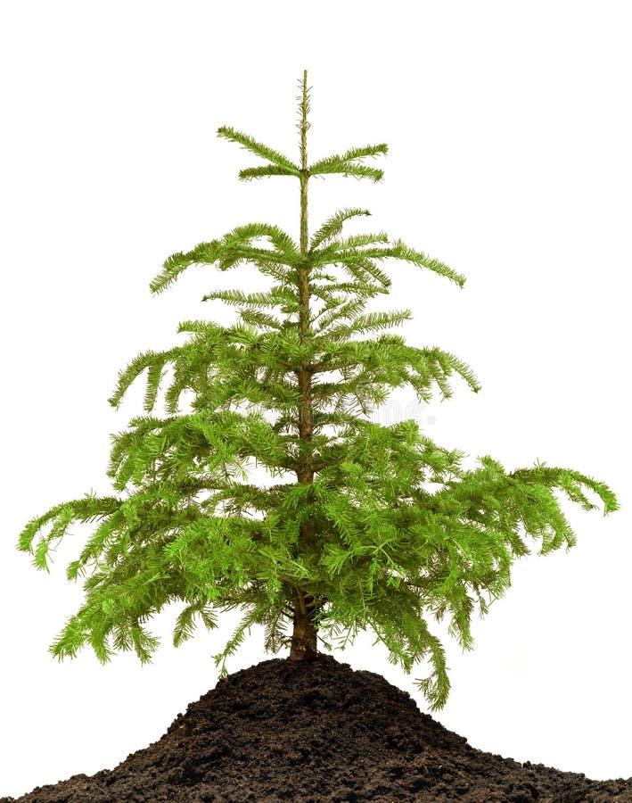Дерево сосенки стоковое фото rf