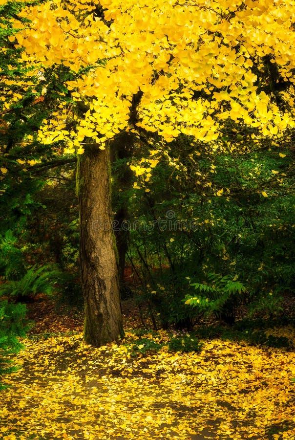 Дерево с желтым листопадом в саде Kubota стоковые изображения rf