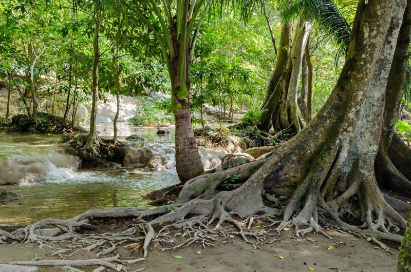Дерево с корнями в тропическом лесе, джунглях стоковая фотография rf