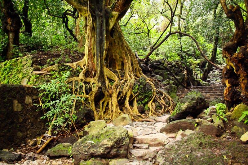 Дерево с корнями и лестницами в джунглях стоковая фотография