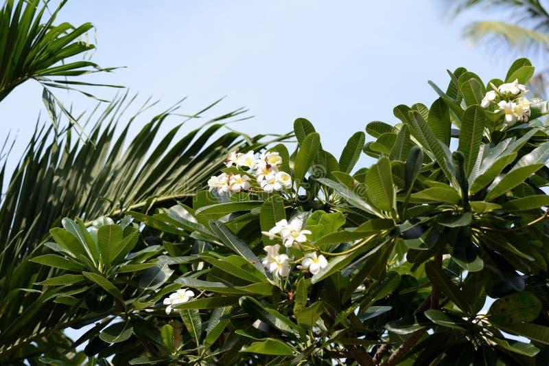 Дерево с красивыми белыми цветенями цветков plumeria в саде стоковое фото rf