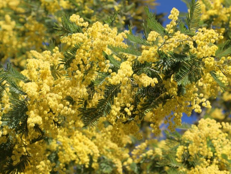 дерево с много желтых цветков мимозы зацвело в марте стоковое изображение rf