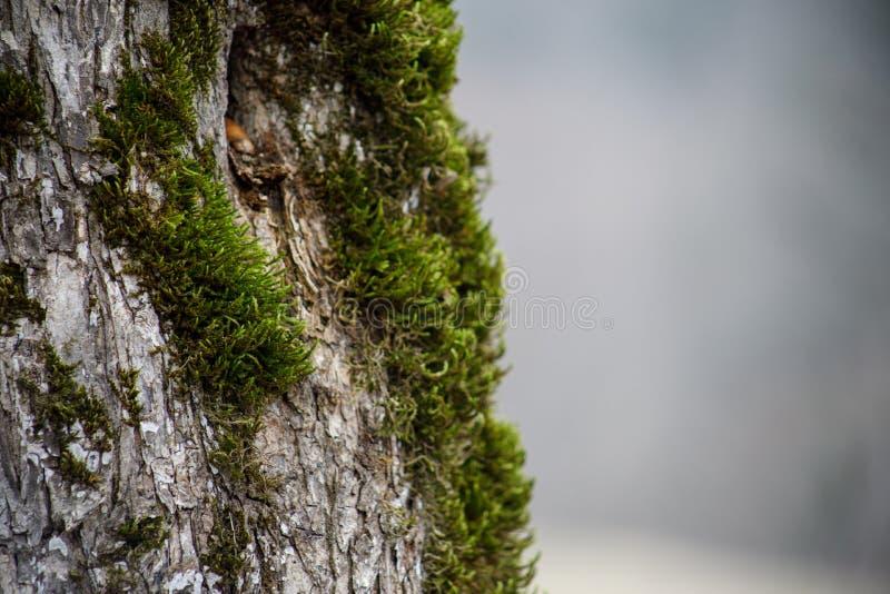 дерево с мхом на корнях в зеленом лесе или мхом на стволе дерева Кора дерева с зеленым мхом Природа Азербайджана стоковая фотография rf