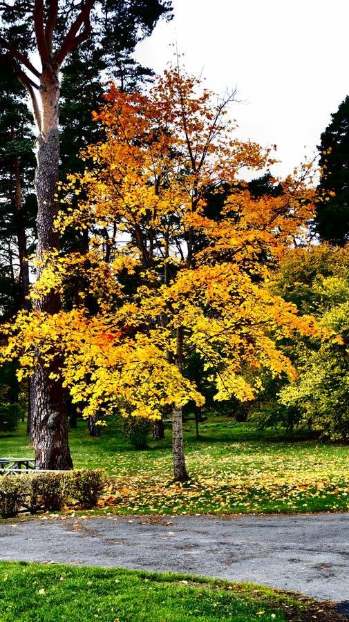 Дерево с яркими цветами, Jonkoping осени, Швеция стоковая фотография rf