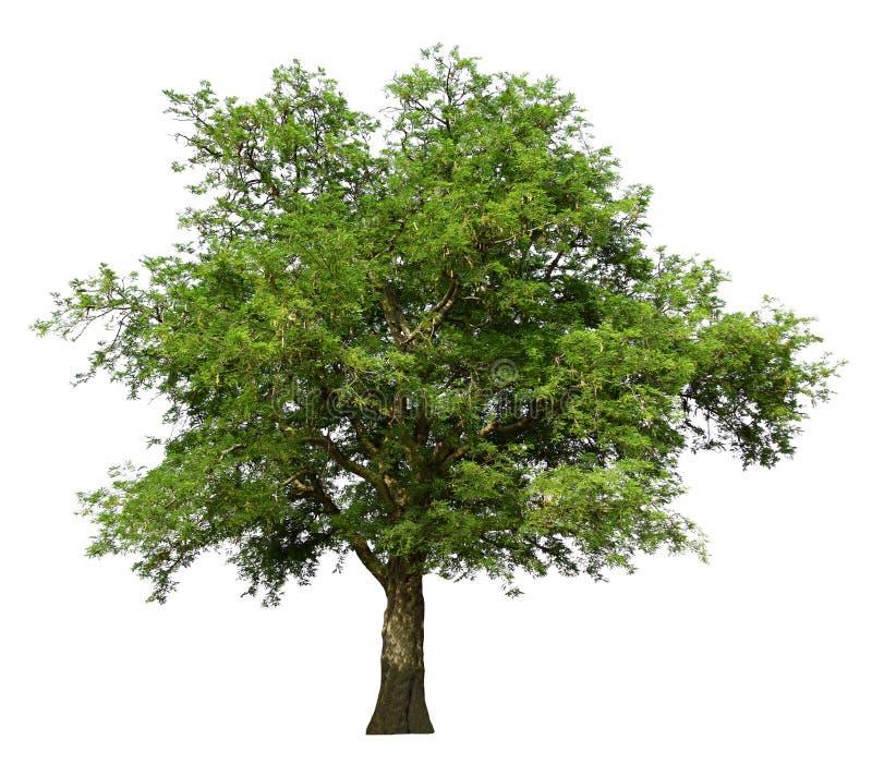 Дерево тамаринда, тропический плод, ингредиент еды изолированной на белой предпосылке, органических заводов в ландшафте сельской  стоковое фото rf