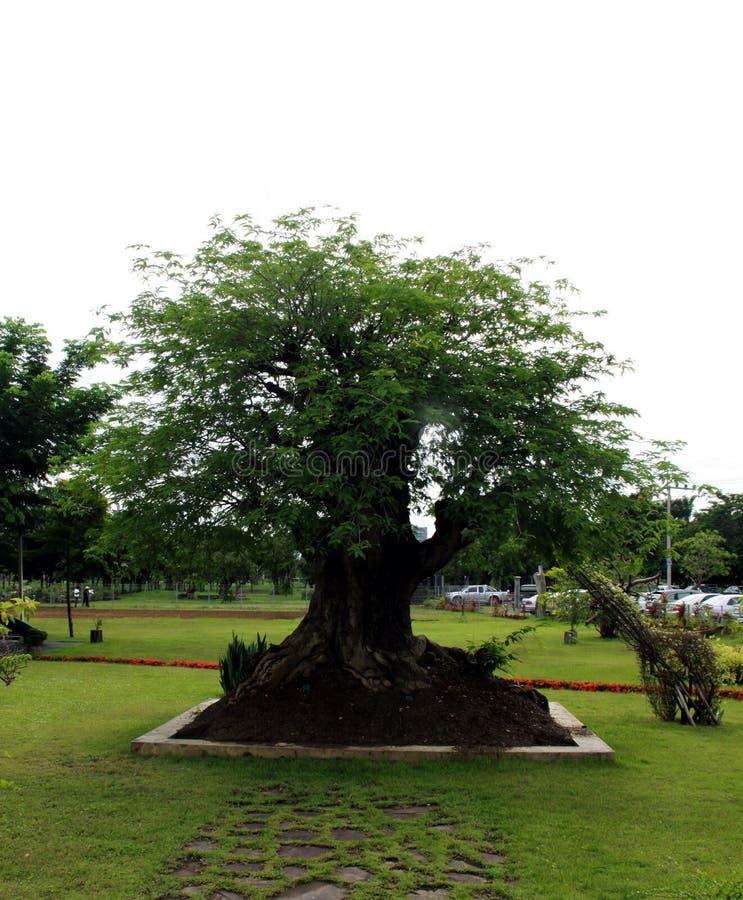 Дерево тамаринда стоковое изображение rf