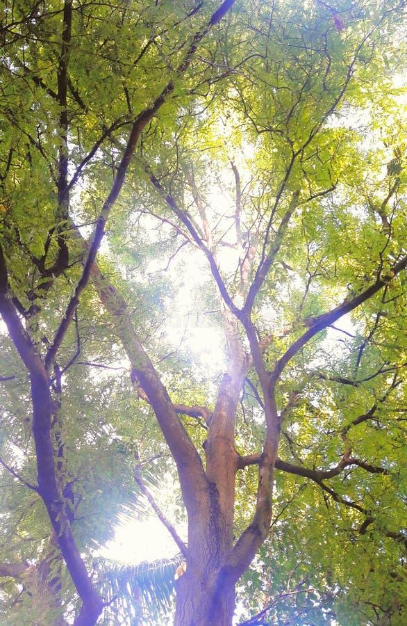 Дерево тамаринда стоковая фотография rf