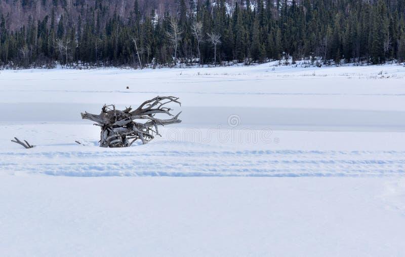 Дерево укореняет замороженное в озеро стоковое фото rf