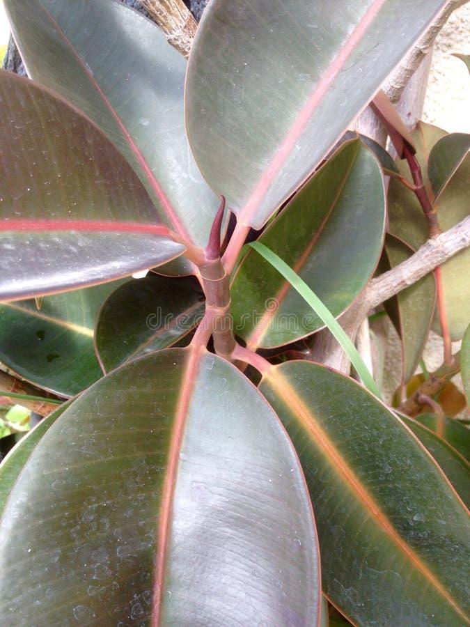 Дерево фикуса с большими листьями Стоковое Фото ...