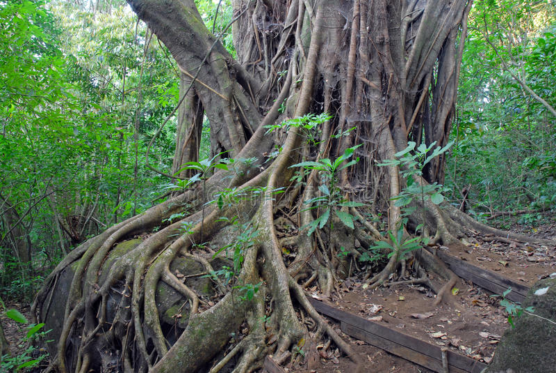 Дерево фикуса укореняет в тропическом лесе джунгли, Коста-Рика стоковое фото rf