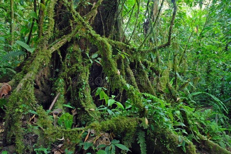Дерево фикуса укореняет в тропическом лесе джунгли, Коста-Рика стоковая фотография