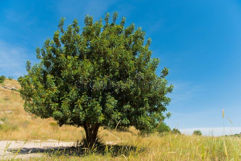 Дерево фисташки в долине Elah стоковые изображения rf