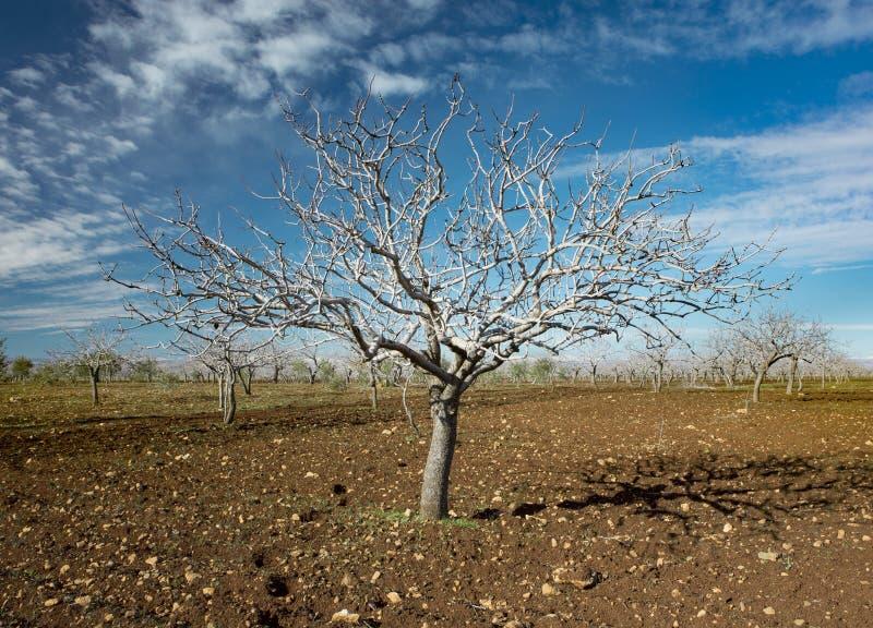 Дерево фисташки стоковые фото