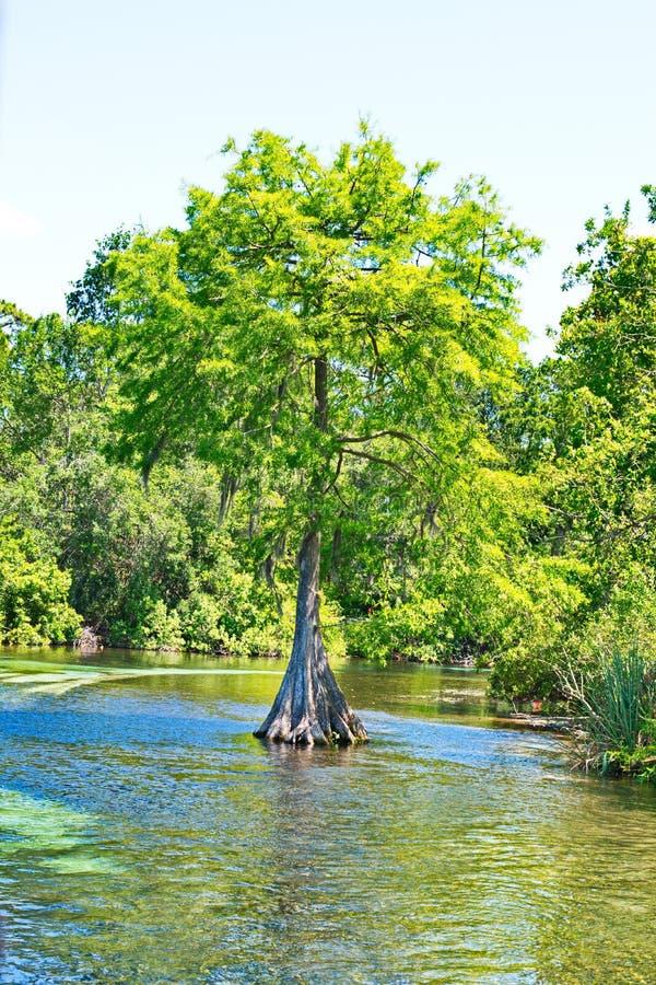 Дерево Флориды Кипра в природных источниках стоковое изображение
