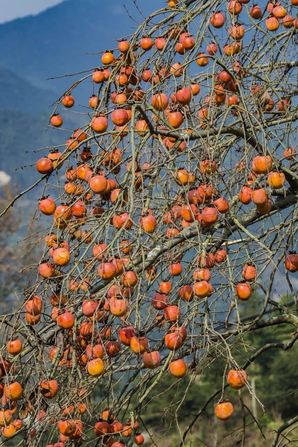 Дерево хурмы стоковые изображения rf