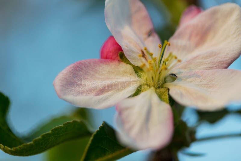 Дерево цветения стоковая фотография
