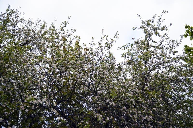 Дерево цветения Яблока в парке стоковая фотография rf