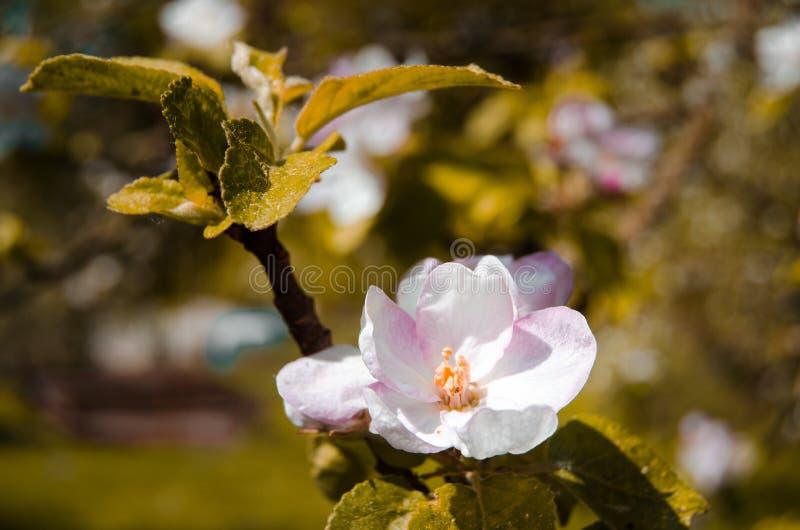 Дерево цветения Яблока стоковые изображения rf