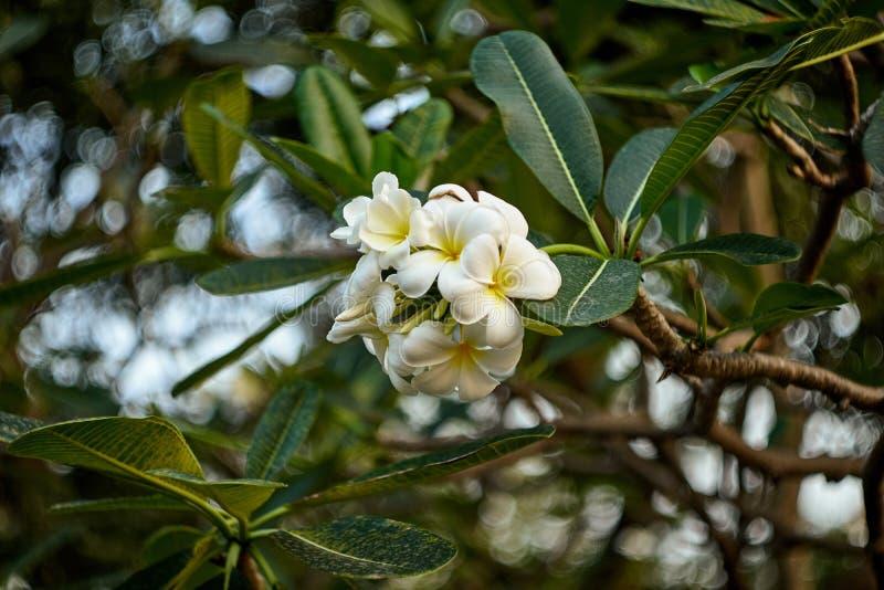 Дерево цветков Frangipani или Plumeria стоковое фото