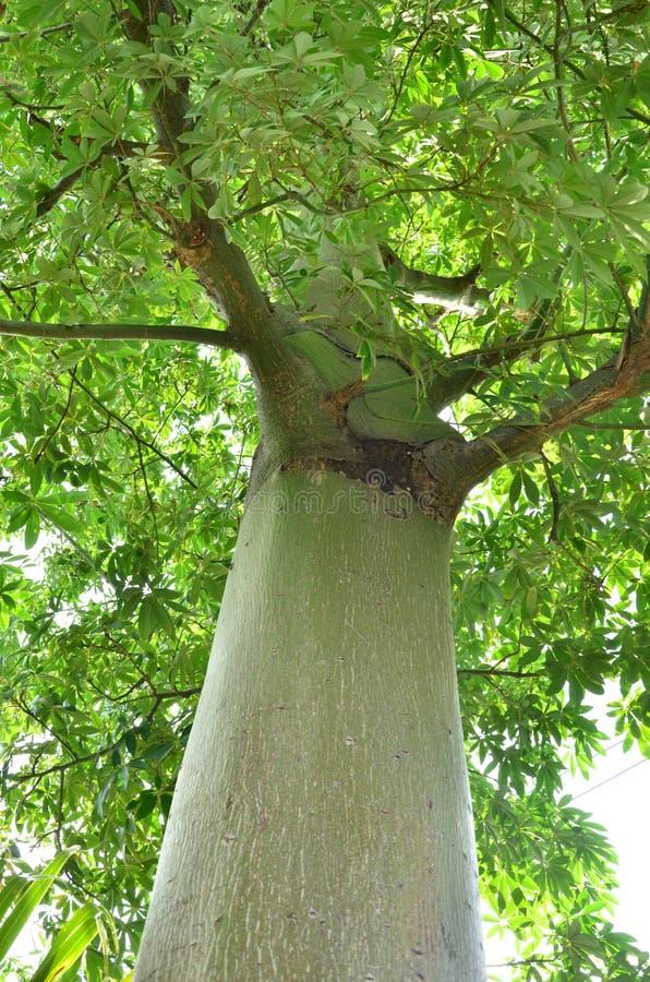 Дерево, шарики хлопка, отскакивая шарики, Таиланд, сила, природа, зеленый цвет, лес, дерево, деревья, листья, растительность, стоковая фотография rf
