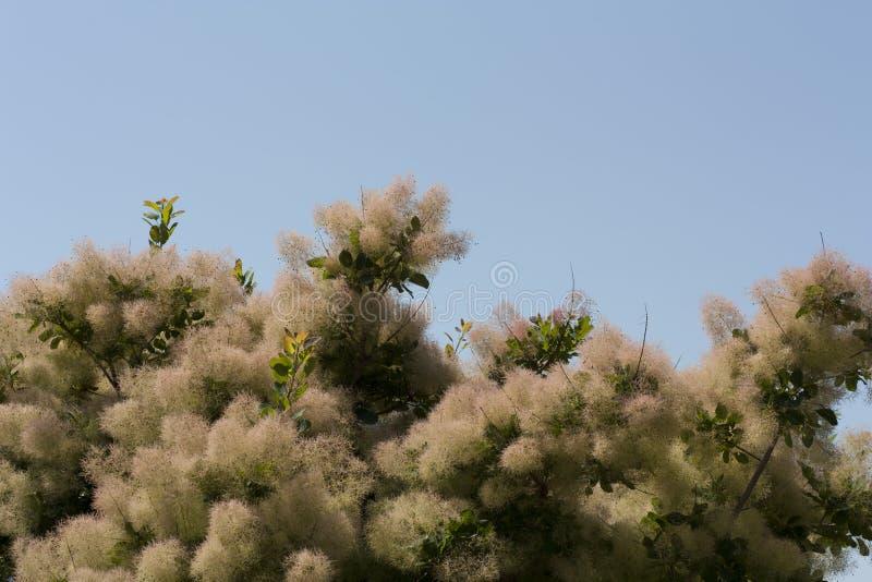 Дерево дыма весь цвет сильно переменно, но на своем самое лучшее производит привлекательные тени желтого, оранжевого, и purplish- стоковые фотографии rf