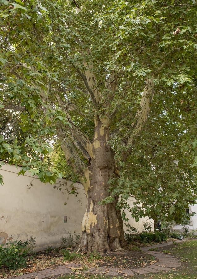 Дерево явора Бетховен, большой дворец монастыря, Прага, чехия стоковые фотографии rf