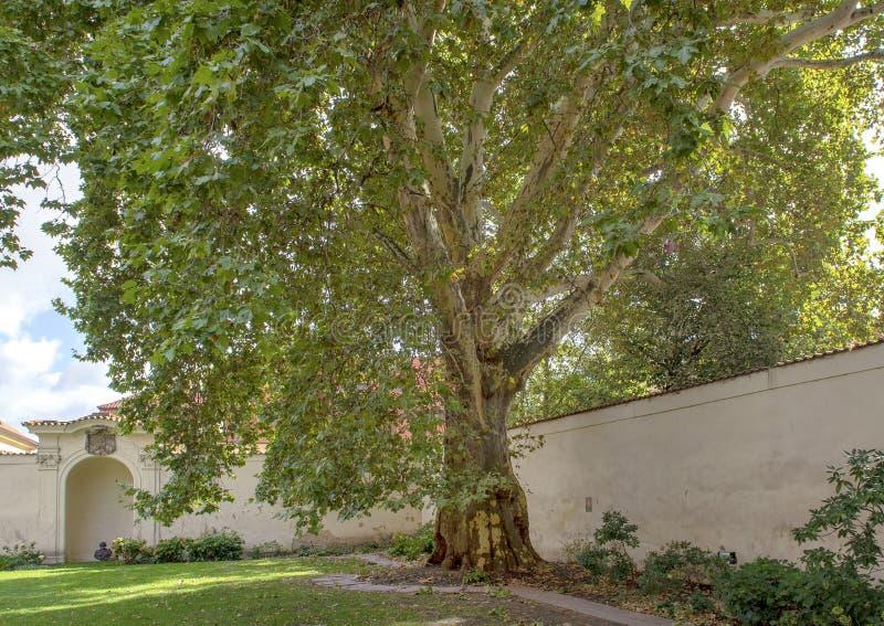 Дерево явора Бетховен, большой дворец монастыря, Прага, чехия стоковое фото rf
