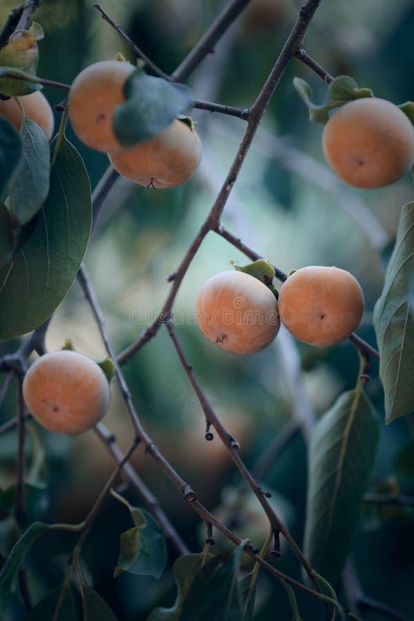 Дерево японской хурмы с плодоовощами стоковое фото
