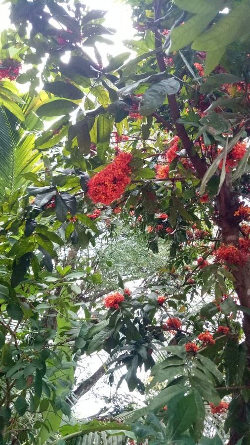 Дерево Asoka стоковая фотография rf